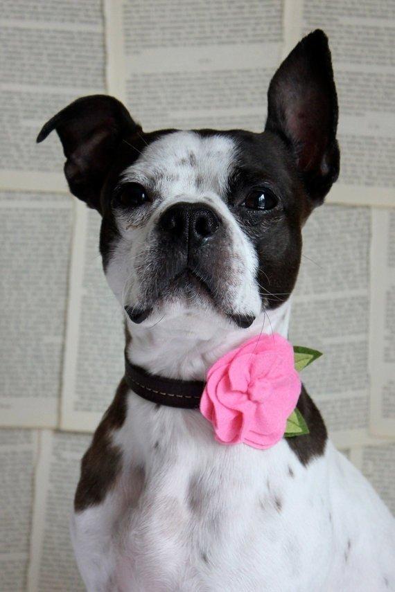dog,mammal,vertebrate,dog breed,boston terrier,