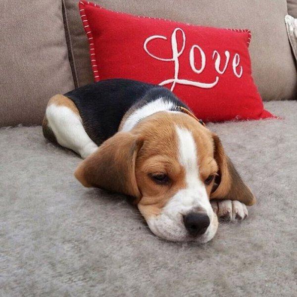 dog, beagle, dog like mammal, dog breed, harrier,