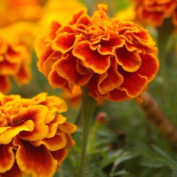 flower,plant,flora,yellow,botany,
