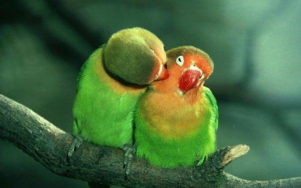 Lovebirds' Love