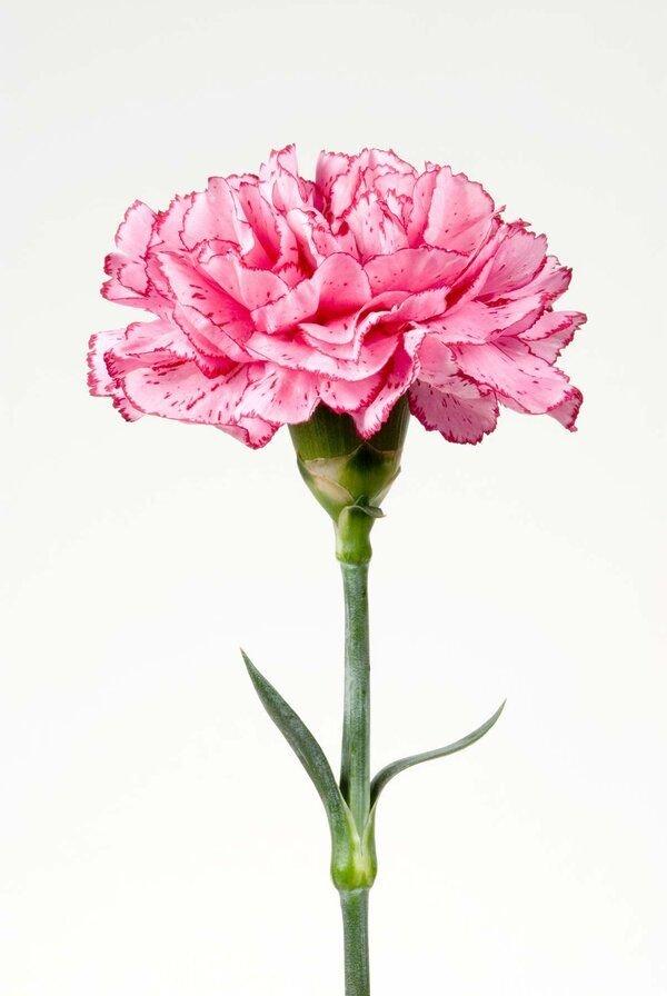 Flower, Flowering plant, Pink, Cut flowers, Plant,