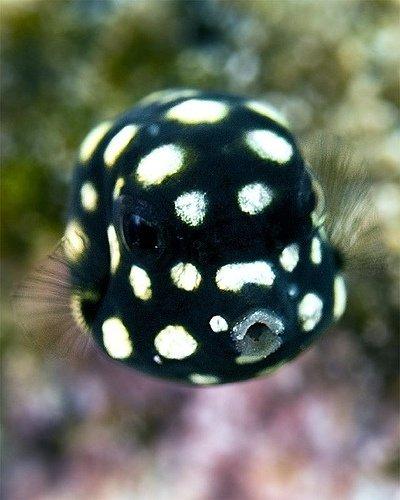 Juvenile Smooth Trunkfish