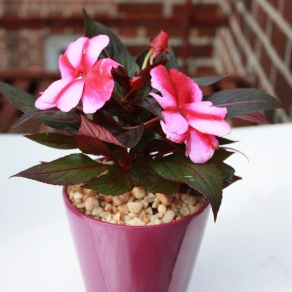 flower, pink, plant, land plant, petal,