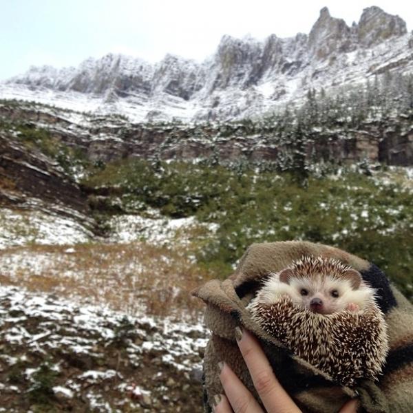mammal,wildlife,mustelidae,hedgehog,