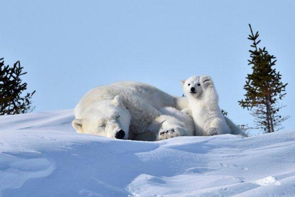 polar bear, mammal, vertebrate, snow, winter,