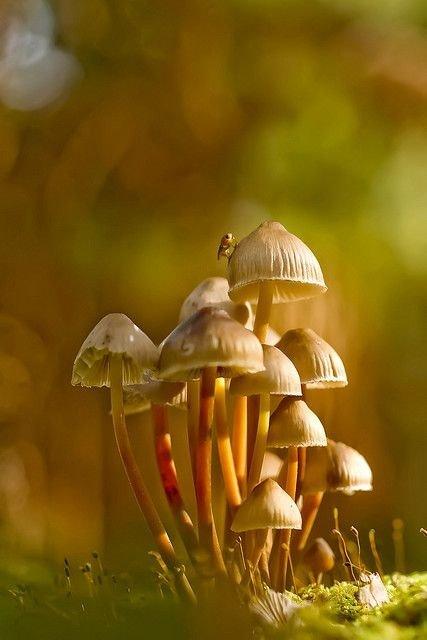 Clustered Bonnet Mushrooms