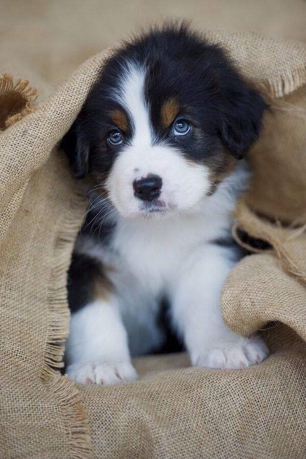 dog,mammal,vertebrate,dog breed,puppy,