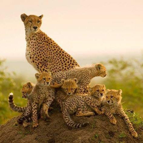 cheetah, terrestrial animal, wildlife, mammal, small to medium sized cats,