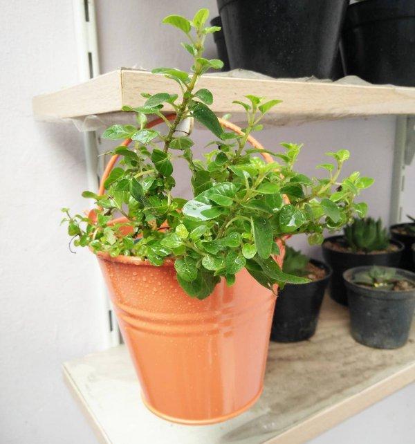 plant, flowerpot, herb, houseplant,