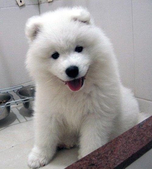 dog,mammal,vertebrate,dog breed,samoyed,