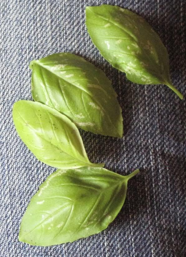 Basil Leaves to Prevent Flatulence
