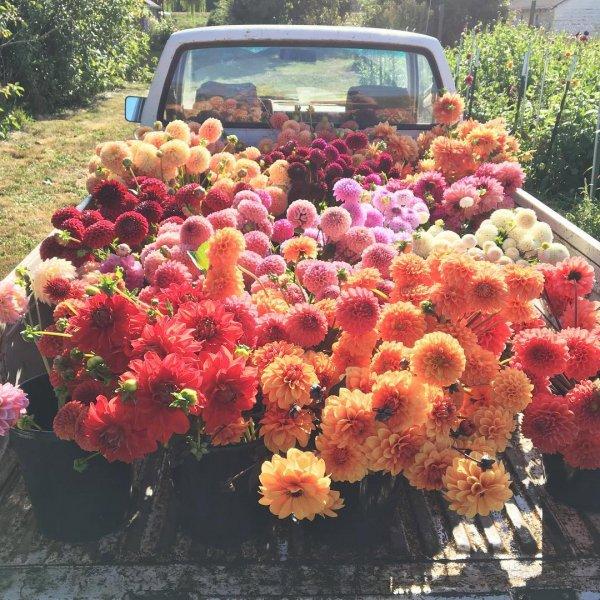 flower, plant, flowering plant, chrysanths, leaf,