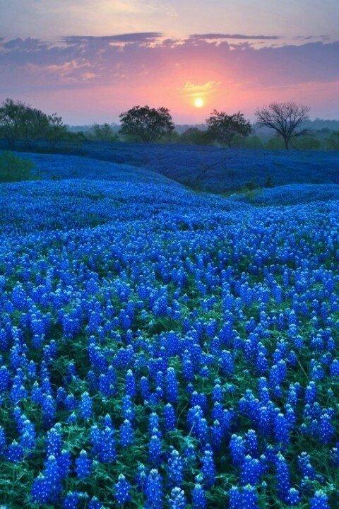 Bluebonnet Fields, Ellis County