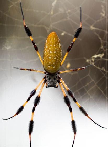 orb weaver spider, spider, european garden spider, fauna, invertebrate,