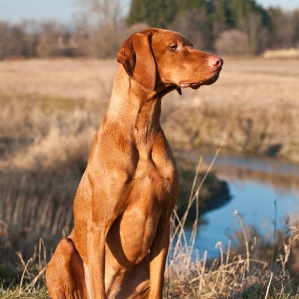 dog,mammal,vizsla,vertebrate,dog breed,