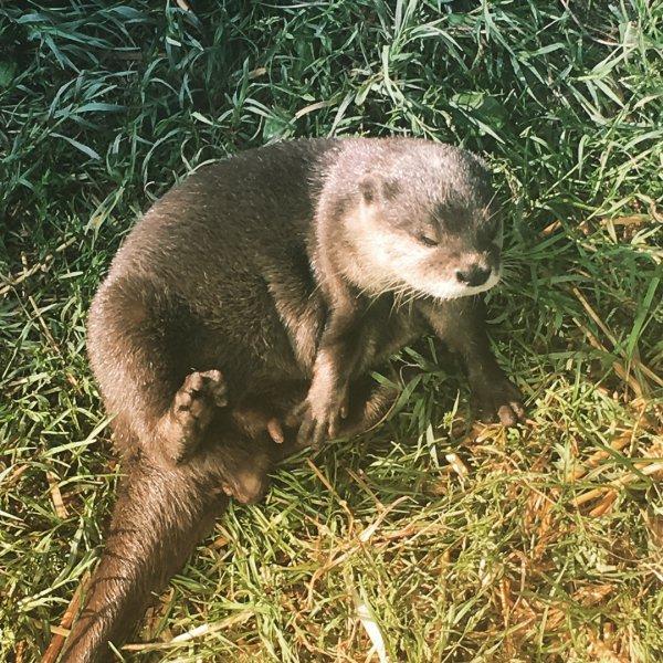 fauna, mammal, terrestrial animal, otter, mink,