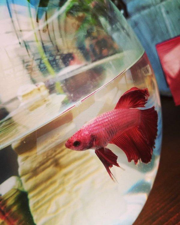 Red, Feeder fish, Fish, Tail, Fish,