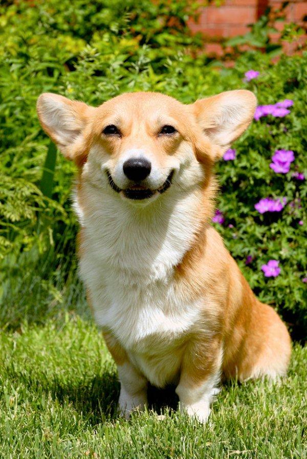 dog,welsh corgi,mammal,vertebrate,dog breed,