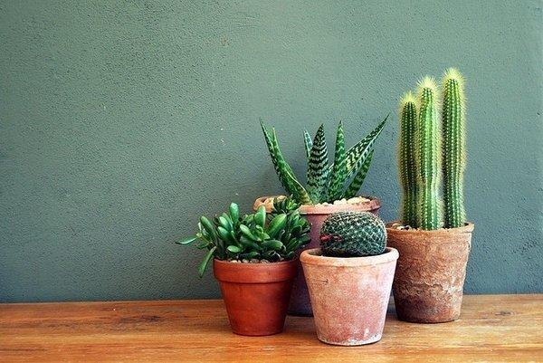 green,plant,cactus,botany,land plant,