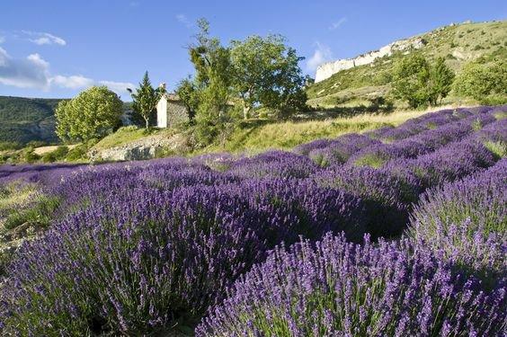 lavender, flower, english lavender, plant, vegetation,
