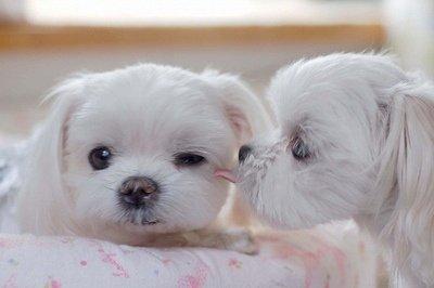 dog,maltese,mammal,vertebrate,dog breed,