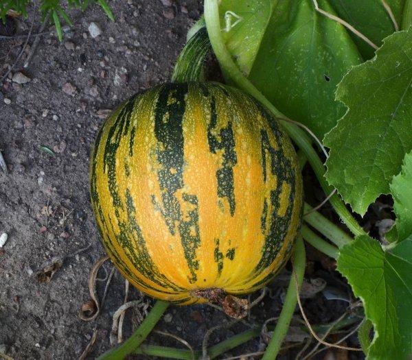 Kakai Pumpkins