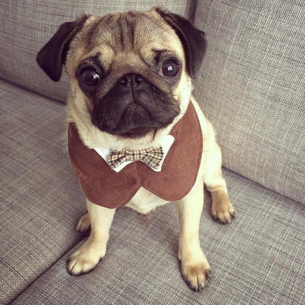 pug, dog, dog like mammal, dog breed, mammal,