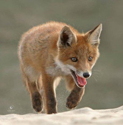 fox, red fox, wildlife, mammal, fauna,