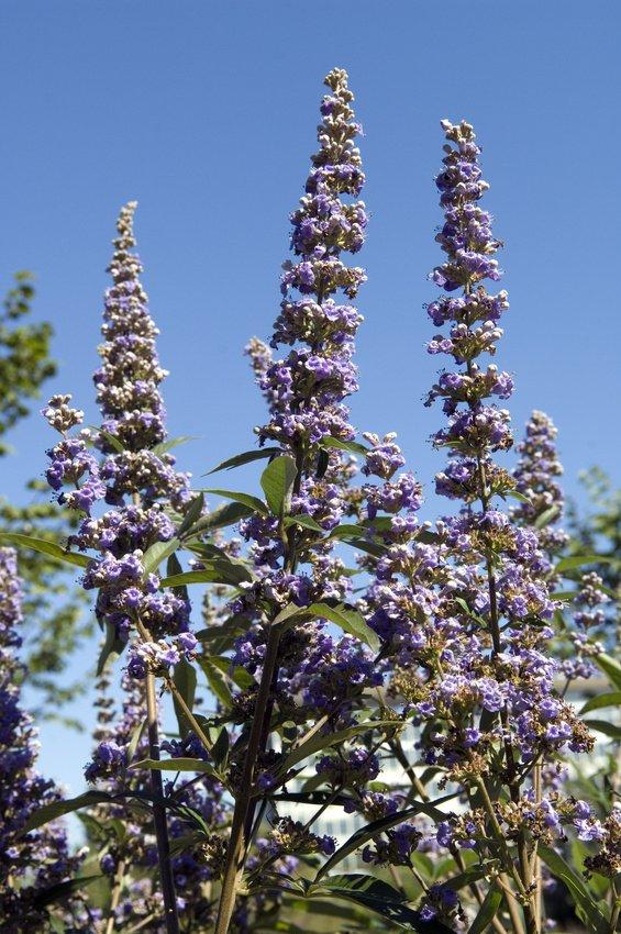 flower, color, plant, blue, purple,