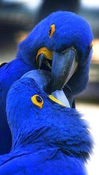 Stunning Hyacinth Macaws
