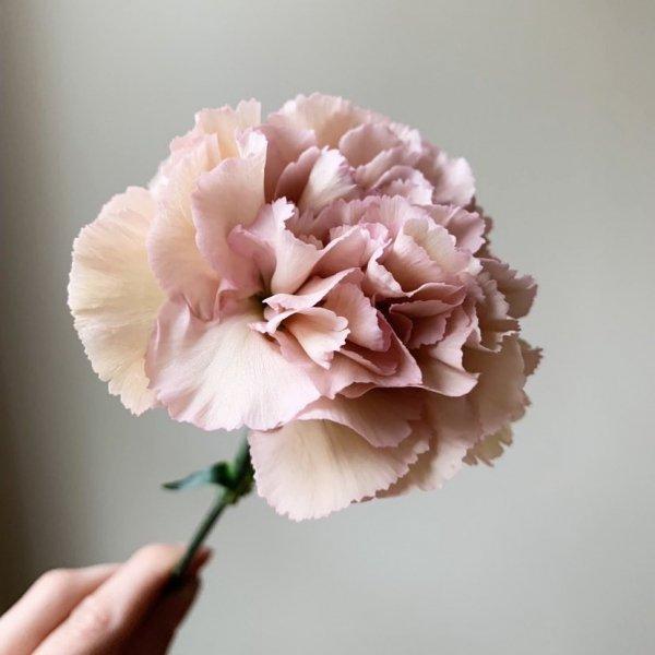 flower, pink, flowering plant, cut flowers, carnation,