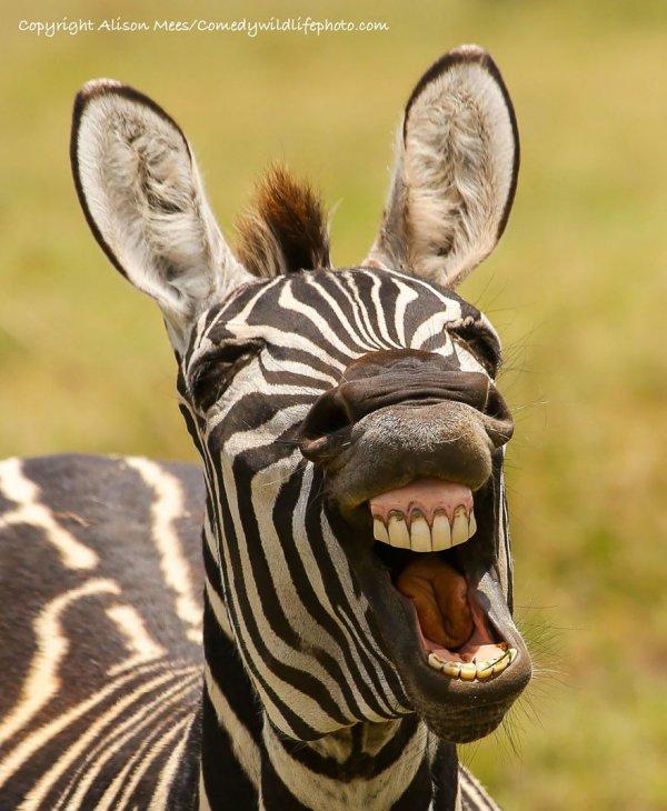 mammal, vertebrate, fauna, wildlife, zebra,
