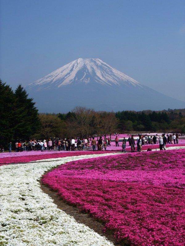 Shiba-zakura, Japan