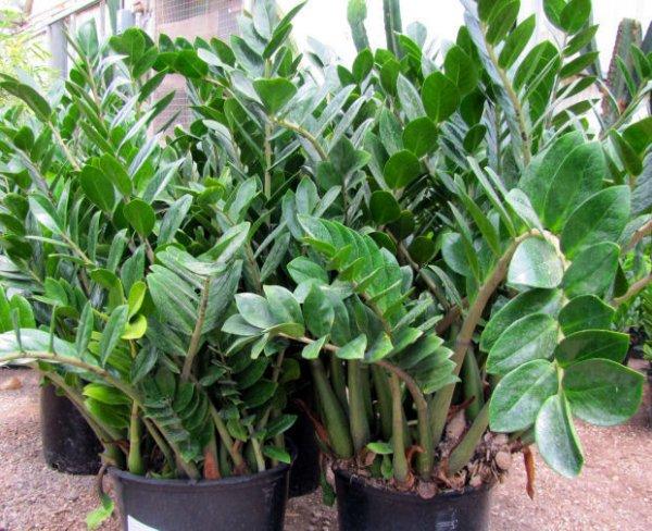 Zeezee Plant
