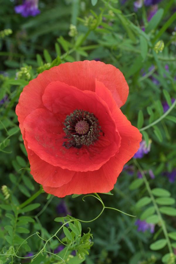 Poppy flower 7 gorgeous flowers that you didnt know were poppy flower mightylinksfo