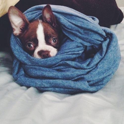 dog,mammal,vertebrate,blue,boston terrier,