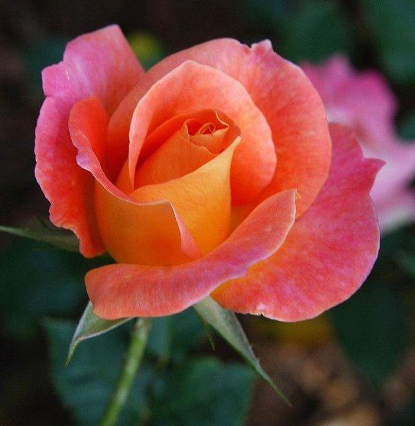 Martha Washington Rose