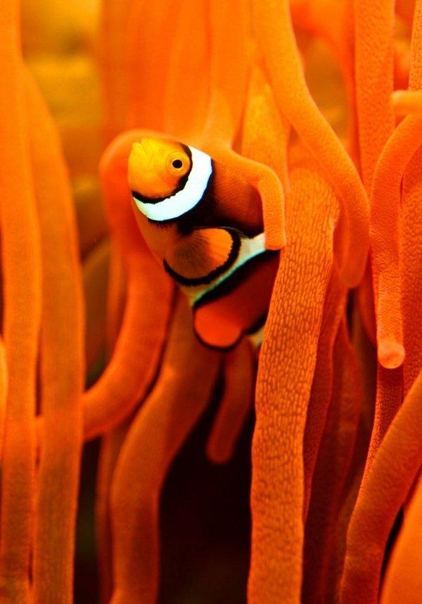 Clown Fish and Orange Coral