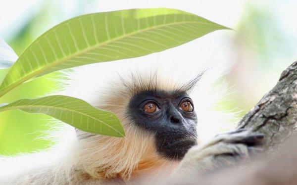 mammal, vertebrate, primate, fauna, langur,