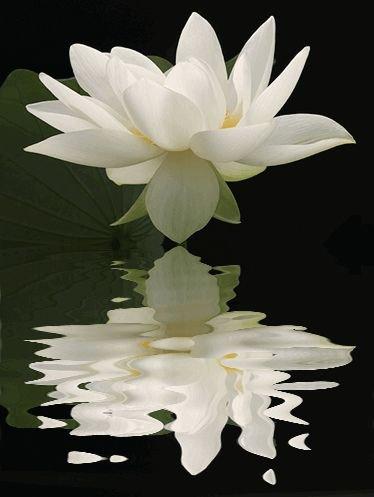 flower,white,plant,flora,lily,