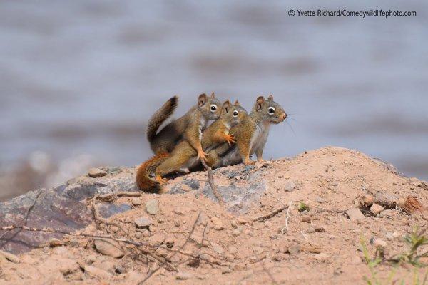 mammal, squirrel, vertebrate, wildlife, fauna,