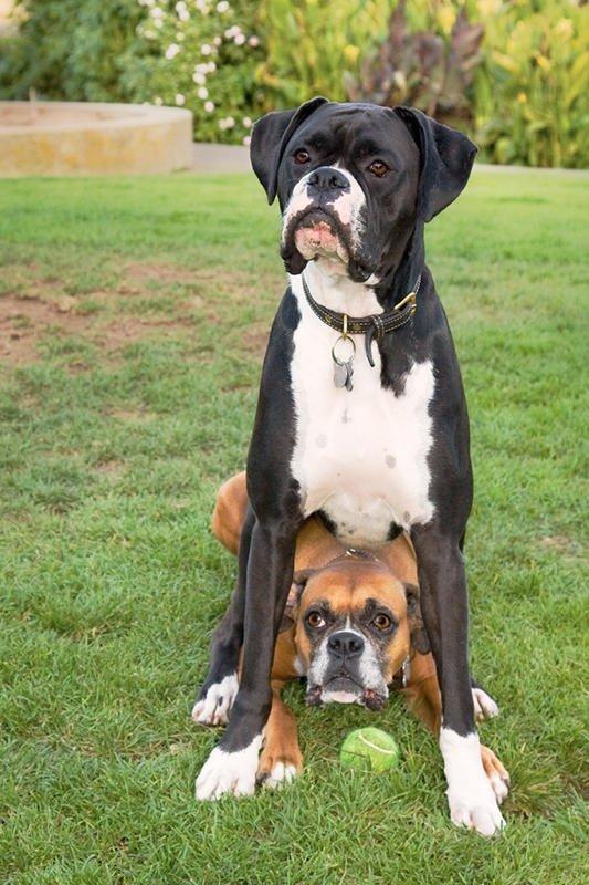 dog,mammal,vertebrate,dog breed,greater swiss mountain dog,