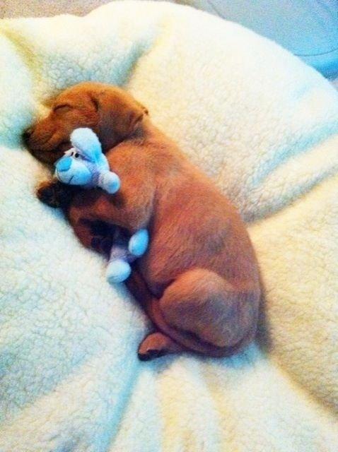 blue,mammal,puppy,dog like mammal,