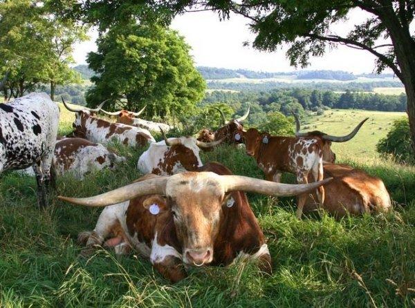 Longhorns under Pecan Trees