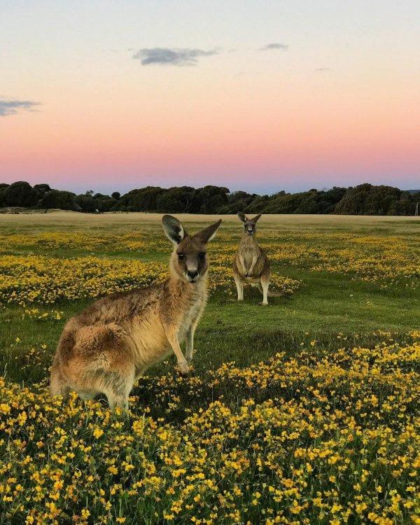 wildlife, mammal, macropodidae, fauna, grassland,