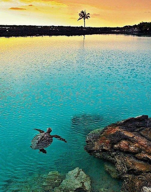 Turtle Swimming, Pu'u Wa'awa'a Ahupua'a, Kailua Kona, Hawaii