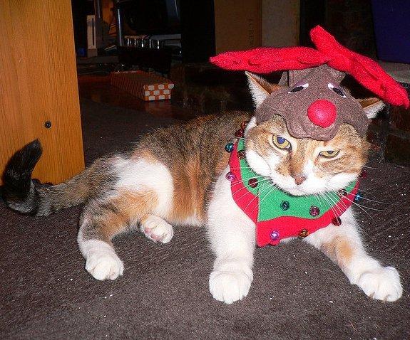 cat, small to medium sized cats, mammal, whiskers, vertebrate,