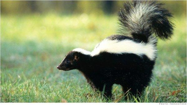 Skunks as Pets?