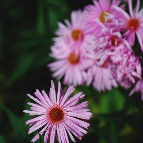 flower, plant, flora, pink, botany,