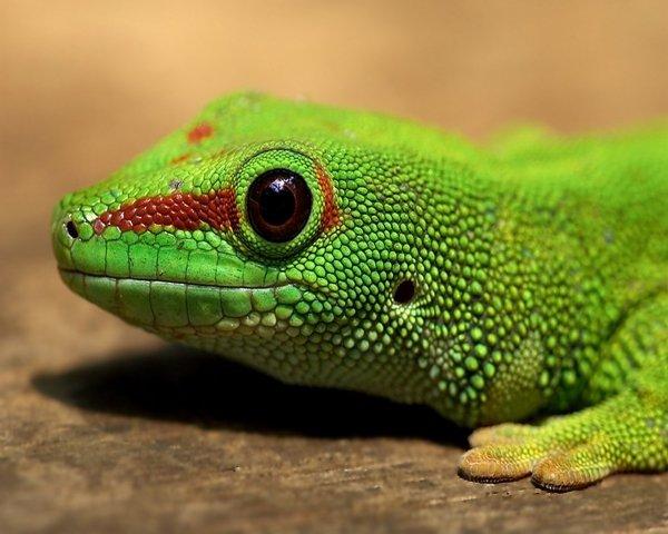 lizard,reptile,vertebrate,scaled reptile,green,